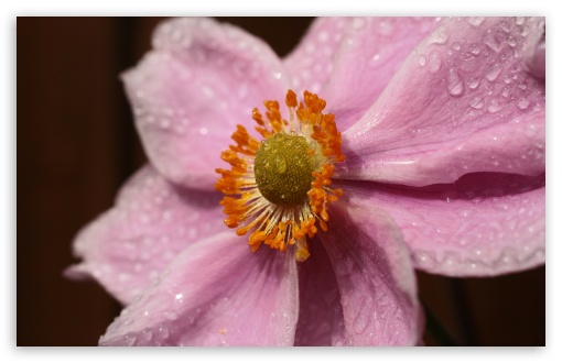 Pink Flower With Water Droplets HD wallpaper for Wide 16:10 5:3 Widescreen WHXGA WQXGA WUXGA WXGA WGA ; HD 16:9 High Definition WQHD QWXGA 1080p 900p 720p QHD nHD ; UHD 16:9 WQHD QWXGA 1080p 900p 720p QHD nHD ; Standard 4:3 5:4 3:2 Fullscreen UXGA XGA SVGA QSXGA SXGA DVGA HVGA HQVGA devices ( Apple PowerBook G4 iPhone 4 3G 3GS iPod Touch ) ; Tablet 1:1 ; iPad 1/2/Mini ; Mobile 4:3 5:3 3:2 16:9 5:4 - UXGA XGA SVGA WGA DVGA HVGA HQVGA devices ( Apple PowerBook G4 iPhone 4 3G 3GS iPod Touch ) WQHD QWXGA 1080p 900p 720p QHD nHD QSXGA SXGA ;