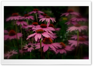 Pink Flowers HD Wide Wallpaper for Widescreen
