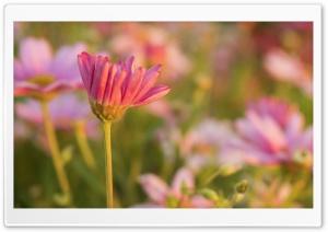 Pink Flowers Ultra HD Wallpaper for 4K UHD Widescreen desktop, tablet & smartphone