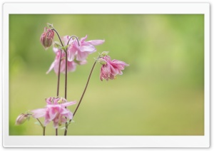 Pink Flowers, Light Green Background HD Wide Wallpaper for Widescreen