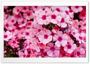 Pink Garden Flowers HD Wide Wallpaper for Widescreen