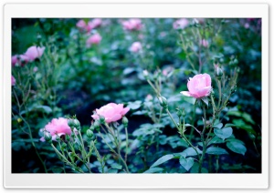 Pink Garden Roses HD Wide Wallpaper for Widescreen