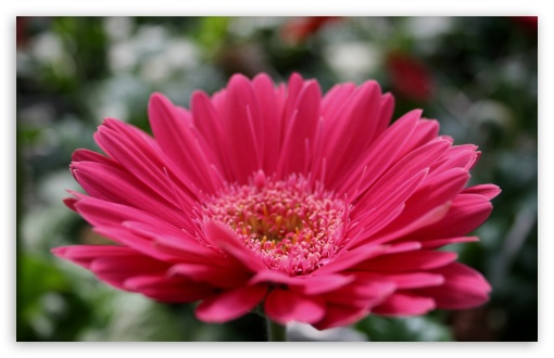 Pink Gerbera HD wallpaper for Wide 16:10 5:3 Widescreen WHXGA WQXGA WUXGA WXGA WGA ; HD 16:9 High Definition WQHD QWXGA 1080p 900p 720p QHD nHD ; Standard 4:3 5:4 3:2 Fullscreen UXGA XGA SVGA QSXGA SXGA DVGA HVGA HQVGA devices ( Apple PowerBook G4 iPhone 4 3G 3GS iPod Touch ) ; Tablet 1:1 ; iPad 1/2/Mini ; Mobile 4:3 5:3 3:2 16:9 5:4 - UXGA XGA SVGA WGA DVGA HVGA HQVGA devices ( Apple PowerBook G4 iPhone 4 3G 3GS iPod Touch ) WQHD QWXGA 1080p 900p 720p QHD nHD QSXGA SXGA ; Dual 5:4 QSXGA SXGA ;