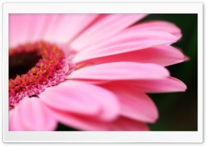 Pink Gerbera HD Wide Wallpaper for Widescreen