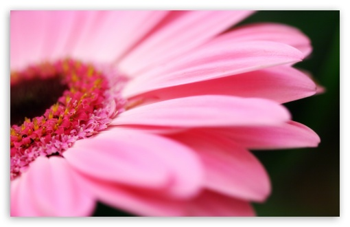 Pink Gerbera HD wallpaper for Wide 16:10 5:3 Widescreen WHXGA WQXGA WUXGA WXGA WGA ; HD 16:9 High Definition WQHD QWXGA 1080p 900p 720p QHD nHD ; Standard 4:3 5:4 3:2 Fullscreen UXGA XGA SVGA QSXGA SXGA DVGA HVGA HQVGA devices ( Apple PowerBook G4 iPhone 4 3G 3GS iPod Touch ) ; iPad 1/2/Mini ; Mobile 4:3 5:3 3:2 16:9 5:4 - UXGA XGA SVGA WGA DVGA HVGA HQVGA devices ( Apple PowerBook G4 iPhone 4 3G 3GS iPod Touch ) WQHD QWXGA 1080p 900p 720p QHD nHD QSXGA SXGA ;