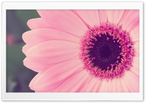 Pink Gerbera Daisy HD Wide Wallpaper for Widescreen