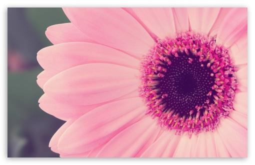 Pink Gerbera Daisy HD wallpaper for Wide 16:10 5:3 Widescreen WHXGA WQXGA WUXGA WXGA WGA ; HD 16:9 High Definition WQHD QWXGA 1080p 900p 720p QHD nHD ; Standard 4:3 5:4 3:2 Fullscreen UXGA XGA SVGA QSXGA SXGA DVGA HVGA HQVGA devices ( Apple PowerBook G4 iPhone 4 3G 3GS iPod Touch ) ; iPad 1/2/Mini ; Mobile 4:3 5:3 3:2 16:9 5:4 - UXGA XGA SVGA WGA DVGA HVGA HQVGA devices ( Apple PowerBook G4 iPhone 4 3G 3GS iPod Touch ) WQHD QWXGA 1080p 900p 720p QHD nHD QSXGA SXGA ;