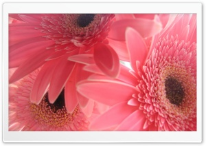 Pink Gerbera Flowers HD Wide Wallpaper for Widescreen