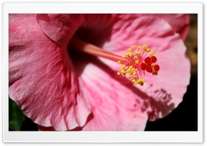 Pink Hibiscus HD Wide Wallpaper for Widescreen
