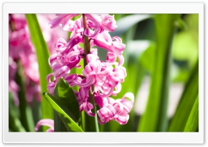 Pink Hyacinth HD Wide Wallpaper for Widescreen