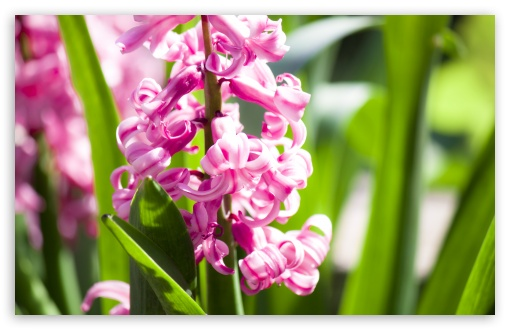 Pink Hyacinth ❤ 4K UHD Wallpaper for Wide 16:10 5:3 Widescreen WHXGA WQXGA WUXGA WXGA WGA ; 4K UHD 16:9 Ultra High Definition 2160p 1440p 1080p 900p 720p ; Standard 4:3 5:4 3:2 Fullscreen UXGA XGA SVGA QSXGA SXGA DVGA HVGA HQVGA ( Apple PowerBook G4 iPhone 4 3G 3GS iPod Touch ) ; Tablet 1:1 ; iPad 1/2/Mini ; Mobile 4:3 5:3 3:2 16:9 5:4 - UXGA XGA SVGA WGA DVGA HVGA HQVGA ( Apple PowerBook G4 iPhone 4 3G 3GS iPod Touch ) 2160p 1440p 1080p 900p 720p QSXGA SXGA ;