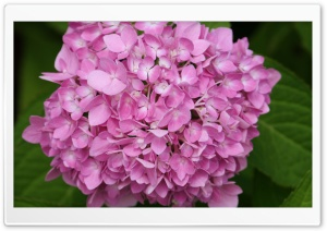 Pink Hydrangea HD Wide Wallpaper for 4K UHD Widescreen desktop & smartphone