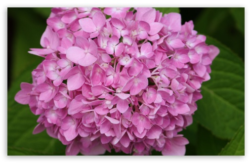 Pink Hydrangea HD wallpaper for Wide 16:10 5:3 Widescreen WHXGA WQXGA WUXGA WXGA WGA ; HD 16:9 High Definition WQHD QWXGA 1080p 900p 720p QHD nHD ; UHD 16:9 WQHD QWXGA 1080p 900p 720p QHD nHD ; Standard 4:3 5:4 3:2 Fullscreen UXGA XGA SVGA QSXGA SXGA DVGA HVGA HQVGA devices ( Apple PowerBook G4 iPhone 4 3G 3GS iPod Touch ) ; iPad 1/2/Mini ; Mobile 4:3 5:3 3:2 16:9 5:4 - UXGA XGA SVGA WGA DVGA HVGA HQVGA devices ( Apple PowerBook G4 iPhone 4 3G 3GS iPod Touch ) WQHD QWXGA 1080p 900p 720p QHD nHD QSXGA SXGA ;