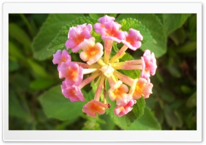 Pink Lantana Flowers HD Wide Wallpaper for Widescreen