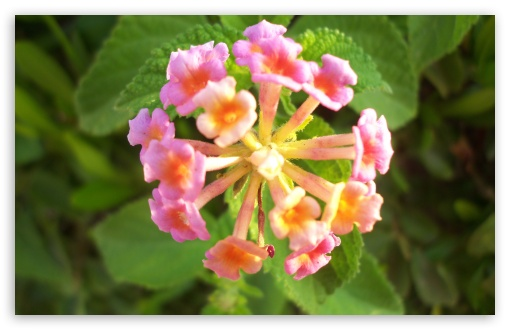 Pink Lantana Flowers HD wallpaper for Wide 16:10 5:3 Widescreen WHXGA WQXGA WUXGA WXGA WGA ; HD 16:9 High Definition WQHD QWXGA 1080p 900p 720p QHD nHD ; Standard 4:3 5:4 3:2 Fullscreen UXGA XGA SVGA QSXGA SXGA DVGA HVGA HQVGA devices ( Apple PowerBook G4 iPhone 4 3G 3GS iPod Touch ) ; Tablet 1:1 ; iPad 1/2/Mini ; Mobile 4:3 5:3 3:2 16:9 5:4 - UXGA XGA SVGA WGA DVGA HVGA HQVGA devices ( Apple PowerBook G4 iPhone 4 3G 3GS iPod Touch ) WQHD QWXGA 1080p 900p 720p QHD nHD QSXGA SXGA ;