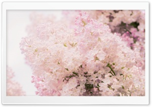 Pink Lilac HD Wide Wallpaper for Widescreen