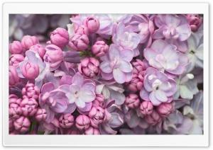 Pink Lilac Close Up Ultra HD Wallpaper for 4K UHD Widescreen desktop, tablet & smartphone