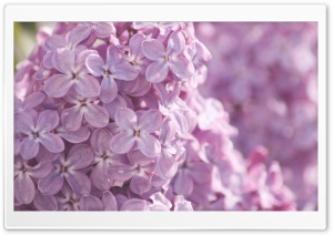 Pink Lilac Flowers HD Wide Wallpaper for Widescreen