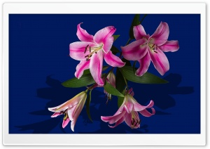 Pink Lily Flowers HD Wide Wallpaper for Widescreen