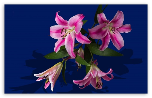 Pink Lily Flowers ❤ 4K UHD Wallpaper for Wide 16:10 5:3 Widescreen WHXGA WQXGA WUXGA WXGA WGA ; 4K UHD 16:9 Ultra High Definition 2160p 1440p 1080p 900p 720p ; UHD 16:9 2160p 1440p 1080p 900p 720p ; Standard 4:3 5:4 3:2 Fullscreen UXGA XGA SVGA QSXGA SXGA DVGA HVGA HQVGA ( Apple PowerBook G4 iPhone 4 3G 3GS iPod Touch ) ; Tablet 1:1 ; iPad 1/2/Mini ; Mobile 4:3 5:3 3:2 16:9 5:4 - UXGA XGA SVGA WGA DVGA HVGA HQVGA ( Apple PowerBook G4 iPhone 4 3G 3GS iPod Touch ) 2160p 1440p 1080p 900p 720p QSXGA SXGA ;