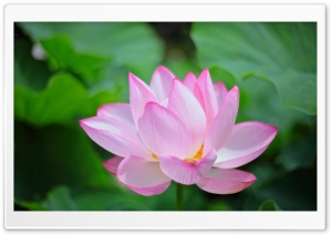 Pink Lotus HD Wide Wallpaper for Widescreen