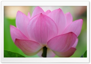 Pink Lotus Flower HD Wide Wallpaper for Widescreen