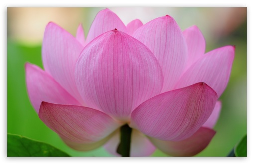 Pink Lotus Flower ❤ 4K UHD Wallpaper for Wide 16:10 5:3 Widescreen WHXGA WQXGA WUXGA WXGA WGA ; 4K UHD 16:9 Ultra High Definition 2160p 1440p 1080p 900p 720p ; UHD 16:9 2160p 1440p 1080p 900p 720p ; Standard 4:3 5:4 3:2 Fullscreen UXGA XGA SVGA QSXGA SXGA DVGA HVGA HQVGA ( Apple PowerBook G4 iPhone 4 3G 3GS iPod Touch ) ; iPad 1/2/Mini ; Mobile 4:3 5:3 3:2 16:9 5:4 - UXGA XGA SVGA WGA DVGA HVGA HQVGA ( Apple PowerBook G4 iPhone 4 3G 3GS iPod Touch ) 2160p 1440p 1080p 900p 720p QSXGA SXGA ;