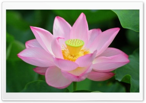 Pink Lotus Flower from Above HD Wide Wallpaper for Widescreen