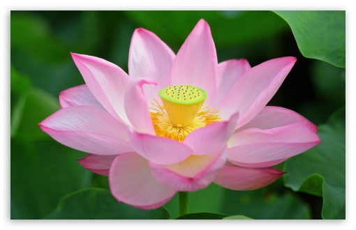 Pink Lotus Flower from Above ❤ 4K UHD Wallpaper for Wide 16:10 5:3 Widescreen WHXGA WQXGA WUXGA WXGA WGA ; 4K UHD 16:9 Ultra High Definition 2160p 1440p 1080p 900p 720p ; UHD 16:9 2160p 1440p 1080p 900p 720p ; Standard 4:3 5:4 3:2 Fullscreen UXGA XGA SVGA QSXGA SXGA DVGA HVGA HQVGA ( Apple PowerBook G4 iPhone 4 3G 3GS iPod Touch ) ; Smartphone 5:3 WGA ; Tablet 1:1 ; iPad 1/2/Mini ; Mobile 4:3 5:3 3:2 16:9 5:4 - UXGA XGA SVGA WGA DVGA HVGA HQVGA ( Apple PowerBook G4 iPhone 4 3G 3GS iPod Touch ) 2160p 1440p 1080p 900p 720p QSXGA SXGA ;
