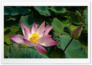 Pink Lotus, Leaves Ultra HD Wallpaper for 4K UHD Widescreen desktop, tablet & smartphone