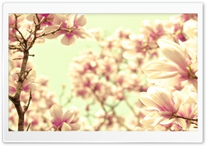 Pink Magnolia HD Wide Wallpaper for Widescreen
