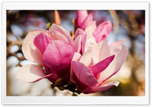 Pink Magnolia Flower HD Wide Wallpaper for 4K UHD Widescreen desktop & smartphone
