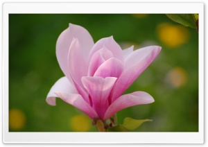 Pink Magnolia Flower HD Wide Wallpaper for Widescreen