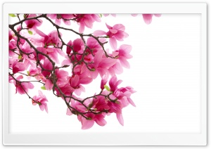 Pink Magnolia Flowers HD Wide Wallpaper for Widescreen