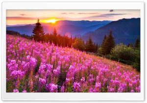Pink Meadow Sun HD Wide Wallpaper for Widescreen