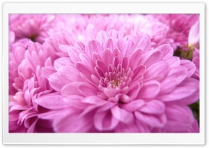 Pink Mums Ultra HD Wallpaper for 4K UHD Widescreen desktop, tablet & smartphone