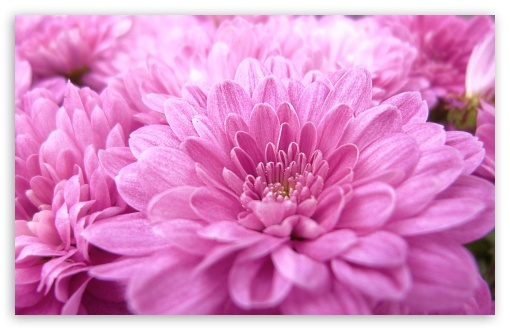 Pink Mums HD wallpaper for Wide 16:10 5:3 Widescreen WHXGA WQXGA WUXGA WXGA WGA ; HD 16:9 High Definition WQHD QWXGA 1080p 900p 720p QHD nHD ; Standard 4:3 5:4 3:2 Fullscreen UXGA XGA SVGA QSXGA SXGA DVGA HVGA HQVGA devices ( Apple PowerBook G4 iPhone 4 3G 3GS iPod Touch ) ; Tablet 1:1 ; iPad 1/2/Mini ; Mobile 4:3 5:3 3:2 16:9 5:4 - UXGA XGA SVGA WGA DVGA HVGA HQVGA devices ( Apple PowerBook G4 iPhone 4 3G 3GS iPod Touch ) WQHD QWXGA 1080p 900p 720p QHD nHD QSXGA SXGA ;