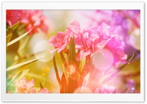 Pink Oleander Flowers HD Wide Wallpaper for Widescreen