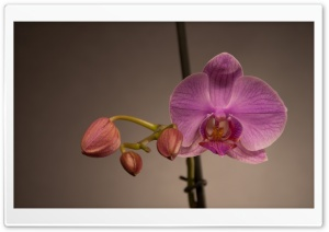Pink Orchid HD Wide Wallpaper for Widescreen