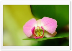 Pink Orchid Flower HD Wide Wallpaper for Widescreen