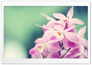 Pink Orchids HD Wide Wallpaper for Widescreen