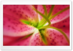Pink Oriental Lilies Macro HD Wide Wallpaper for Widescreen