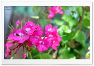 Pink Pelargonium HD Wide Wallpaper for 4K UHD Widescreen desktop & smartphone