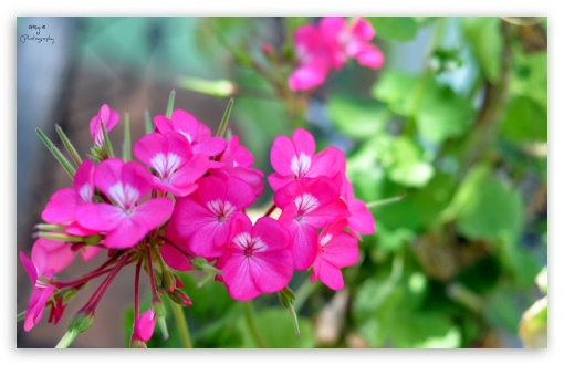 Pink Pelargonium ❤ 4K UHD Wallpaper for Wide 16:10 5:3 Widescreen WHXGA WQXGA WUXGA WXGA WGA ; 4K UHD 16:9 Ultra High Definition 2160p 1440p 1080p 900p 720p ; UHD 16:9 2160p 1440p 1080p 900p 720p ; Standard 4:3 5:4 3:2 Fullscreen UXGA XGA SVGA QSXGA SXGA DVGA HVGA HQVGA ( Apple PowerBook G4 iPhone 4 3G 3GS iPod Touch ) ; Tablet 1:1 ; iPad 1/2/Mini ; Mobile 4:3 5:3 3:2 16:9 5:4 - UXGA XGA SVGA WGA DVGA HVGA HQVGA ( Apple PowerBook G4 iPhone 4 3G 3GS iPod Touch ) 2160p 1440p 1080p 900p 720p QSXGA SXGA ;