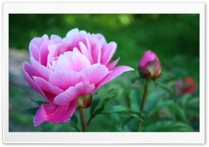 Pink Peony HD Wide Wallpaper for Widescreen