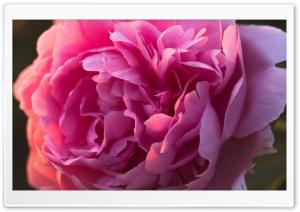 Pink Peony Flower Macro Ultra HD Wallpaper for 4K UHD Widescreen desktop, tablet & smartphone