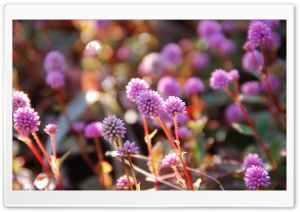Pink Persicaria Capitata HD Wide Wallpaper for Widescreen
