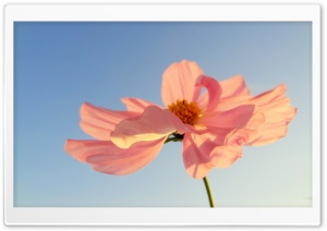 Pink Petals In Sunlight HD Wide Wallpaper for Widescreen