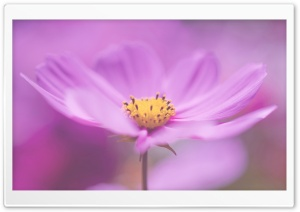 Pink Petals Macro HD Wide Wallpaper for Widescreen
