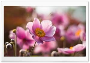 Pink Petals Macro HD Wide Wallpaper for 4K UHD Widescreen desktop & smartphone